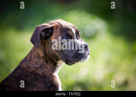 German Boxer. Portrait of a puppy. Germany - Stock Photo