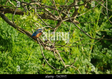 Perched Male Eurasian Kingfisher (Alcedo atthis) in an Ash Tree, Fishing by the River Exe at Salmon Pool on a Spring Morning. Exeter, UK. - Stock Photo