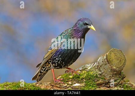 Common Starling (Sturnus vulgaris). Adult in breeding plumage standing mossy log. Germany - Stock Photo