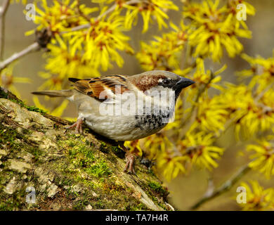 House Sparrow (Passer domesticus). Adult  male perched on a twig, with flowering Witch Hazel in background. Germany - Stock Photo
