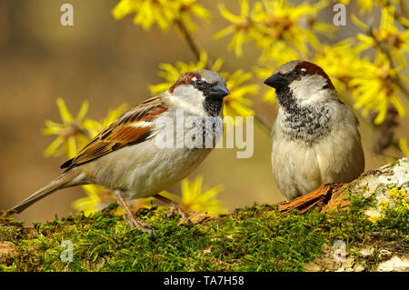 House Sparrow (Passer domesticus). Two adult males perched on a twig, with flowering Witch Hazel in background. Germany - Stock Photo