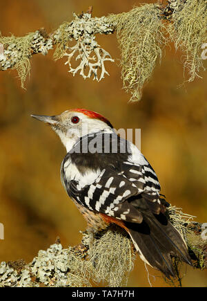 Middle Spotted Woodpecker (Dendrocoptes medius). Adult perched on lichen-covered branch. Germany - Stock Photo