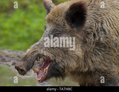 Wild Boar (Sus scrofa). Portrait of male, yawning. Germany . - Stock Photo
