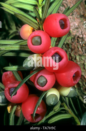 Common Yew, English Yew (Taxus baccata). Shoot with mature and immature cones. Germany - Stock Photo