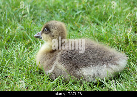 A Greylag Goose's gosling resting in the grass, one of many born at Sandall Park, Doncaster, UK in May 2019 - Stock Photo