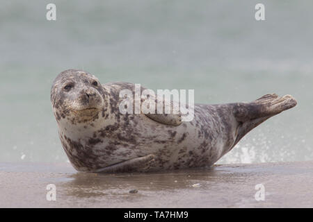 Grey Seal (Halichoerus grypus). Female in surf. Helgoland, Germany - Stock Photo