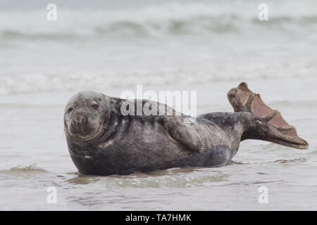 Grey Seal (Halichoerus grypus). Male in surf. Helgoland, Germany - Stock Photo