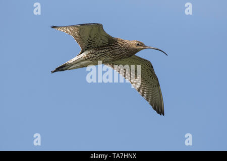 Curlew (Numenius arquata) in flight. Germany - Stock Photo