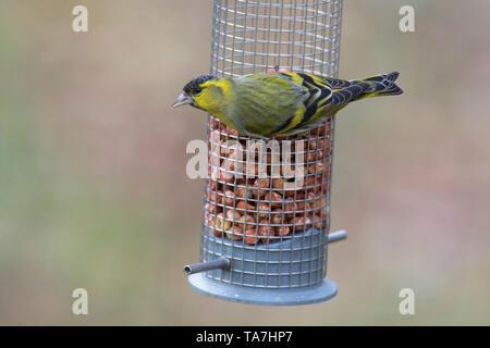 Eurasian Siskin (Carduelis spinus) Male perched on peanut feeder. Sweden - Stock Photo