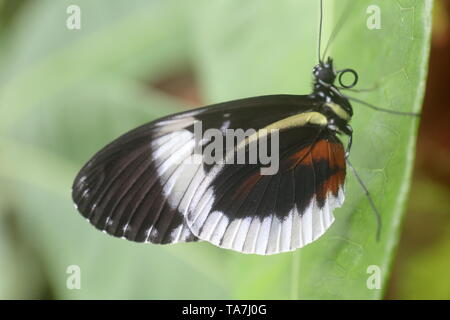 Blue longwing butterfly resting on a leaf with its wings closed - Stock Photo