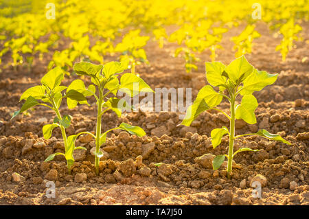 Small healthy sunflower plants growing in a farm field plenty of plants during sunset. Sunflower with green leaves starting to grow in fertile soil. - Stock Photo