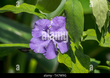 Brazil raintree / yesterday-today-and-tomorrow / morning-noon-and-night / Kiss Me Quick (Brunfelsia pauciflora) in flower, endemic to Brazil - Stock Photo