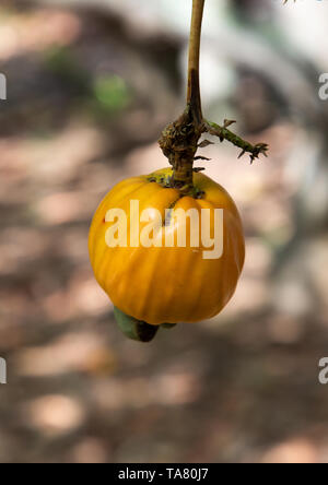 Fruit of shea butter tree, Savanes district, Shienlow, Ivory Coast - Stock Photo