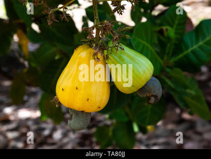 Fruits of shea butter tree, Savanes district, Shienlow, Ivory Coast - Stock Photo