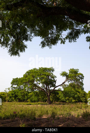 Plantation of shea butter or karite trees, Savanes district, Shienlow, Ivory Coast - Stock Photo