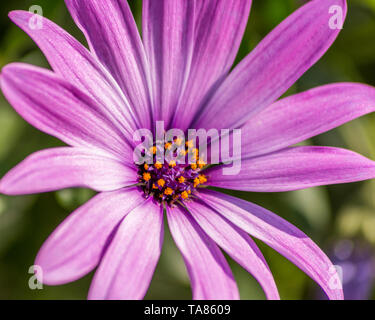 Close up shot of a beautiful purple daisy. - Stock Photo