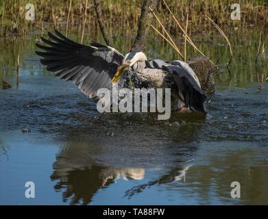 Heron catching eel - Stock Photo