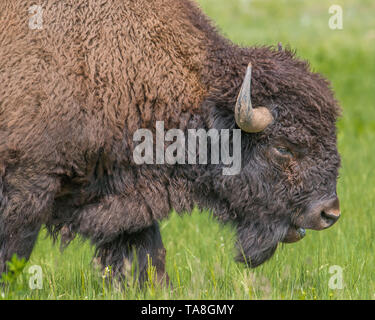 Closeup of buffalo in Custer State Park in South Dakota - Stock Photo