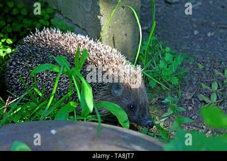 hedgehog runs in the grass. young hedgehog in the grass. prickly brown hedgehog in nature. wild mammals. - Stock Photo