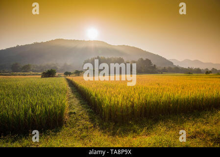yellow rice field / landscape field and sunrise sun shine through on mountain - ripe paddy rice wait harvest rice in golden field product of agricultu - Stock Photo