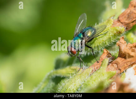 Closeup of a Common Green Bottle Fly (Lucilia sericata, Greenbottle fly) on a leaf or plant in Spring (May), West Sussex, UK. Greenbottle fly. - Stock Photo