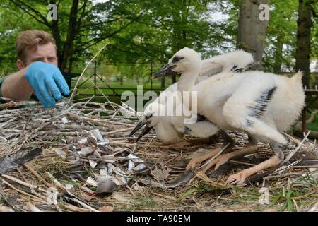 Keeper feeding White stork (Ciconia ciconia) chicks in a captive breeding colony supplying UK White Stork reintroductions, Cotswold Wildlife Park. - Stock Photo