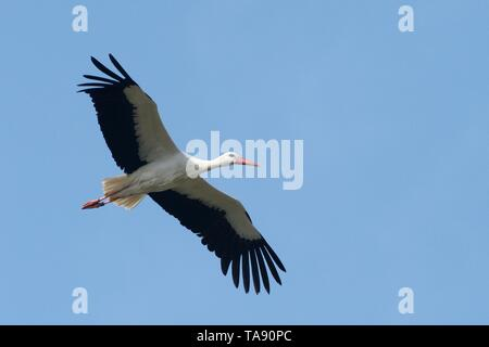 White stork (Ciconia ciconia) in flight against a blue sky over the Knepp estate, Sussex, UK, March. - Stock Photo