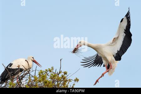 White stork (Ciconia ciconia) male landing with nest material and joining his mate on their nest in an Oak tree, Knepp estate, Sussex, UK, April. - Stock Photo