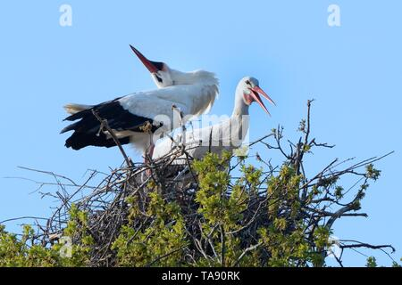 White stork (Ciconia ciconia) pair performing an up-down display with bill clattering on their nest in an Oak tree, Knepp estate, Sussex, UK, April. - Stock Photo