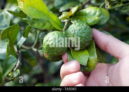 Woman's hand picking a Kaffir lime (green lemon, citrus fruit,bergamot) on the tree - Stock Photo
