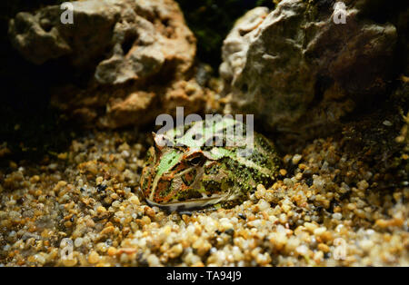 Green horned frog close up / The chachoan horned frog hide on rocks gravel in cavity - argentine horned frog - Stock Photo