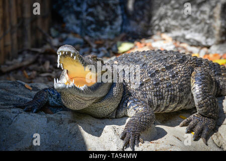 Open your mouth Crocodile lying relaxing on stone near the water in A crocodiles farm / animal wildlife reptile - Stock Photo