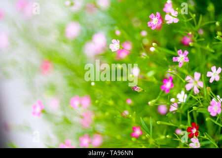 colorful beautiful pink gypsophila bouqitue flower in the garden - Stock Photo
