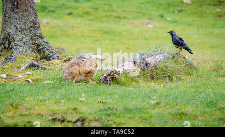 A common hare and a Western Jackdaw (Coloeus monedula) sit in close proximity to one another next to a discarded fence post with wire attached. - Stock Photo