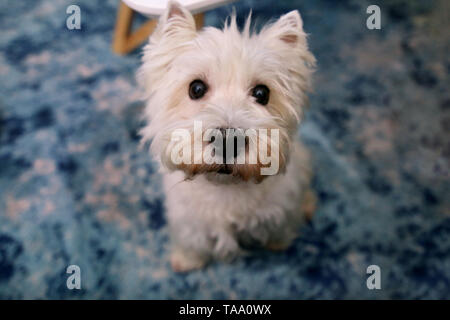 Dog photo shoot at home. Pet portrait of West Highland White Terrier dog enjoying and resting on floor and blue carpet at house. Colin Westie Terrier  - Stock Photo