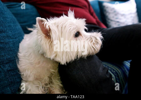 West Highland White Terrier dog enjoys company of his owner sitting on couch together and petting lovely dogs. Owner having fun with his pet concept. - Stock Photo