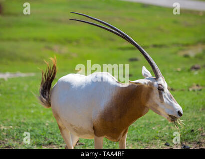 The scimitar oryx or scimitar-horned oryx (Oryx dammah) - Stock Photo