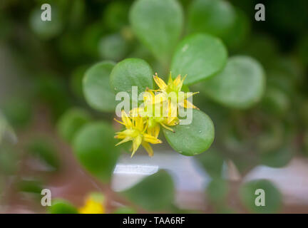 Golden Japanese Stonecrop (Sedum makinoi ogon) flowers and foliage. This is a tiny-leaved, spreading, ground cover Sedum that is noted for its bright  - Stock Photo