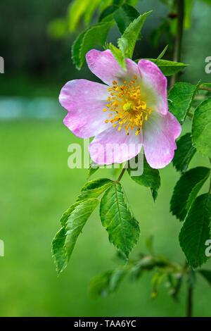 Rose hip in blossom (Rosa canina) - Stock Photo