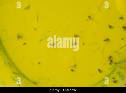 Flies and insects stuck to yellow fly paper. A fly-killing device made of paper coated with a sweetly fragrant, but extremely sticky or poisonous subs - Stock Photo