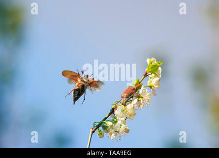 portrait of large insects; May-beetle crawling and flying spreading its wings from a beautiful flowering cherry branch in a garden and against the blu - Stock Photo