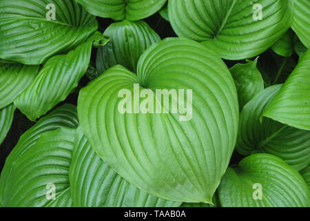 King of Heart leaves green plant background. Big tropical exotic leaf - Stock Photo