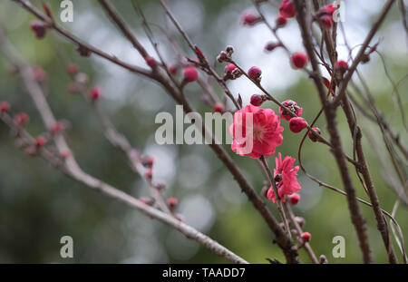 Pink flower plum blossoms in Botanic garden Park in Wuhan city, Hubei China. Stock Photo