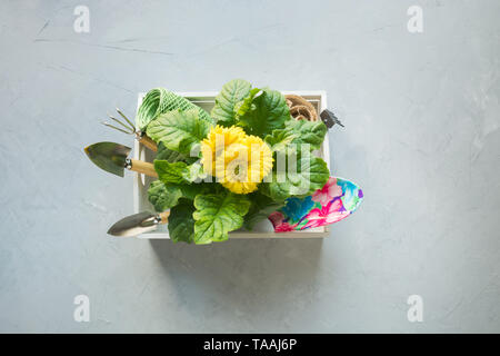 Gardening background with yellow gerbera, gardening tolls and garden flowers plant in box on gray concrete background. Top view. - Stock Photo