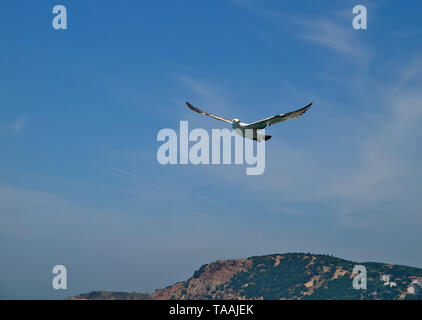 Seagull with winds wide open flying against blue sky with clouds and mountain.Prince islands, Turkey. - Stock Photo