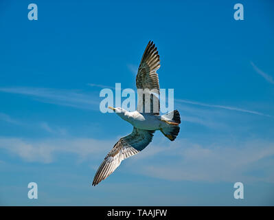 Seagull underpart with wings wide open flying against blue sky background. - Stock Photo