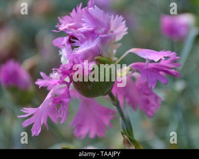 Close up of dianthus plumarius - Stock Photo