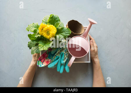 Potted yellow gerbera flowers for planting in the ground, seedling. Box with gardening tools in female hands on gray concrete background. View from ab - Stock Photo
