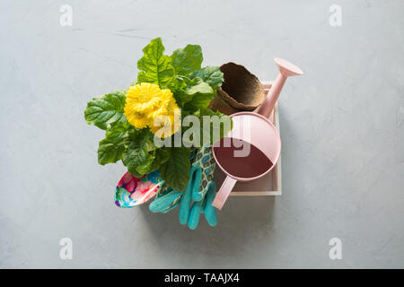 Gardening background with yellow gerbera, tolls and garden flowers plant in box on gray concrete background. Top view. - Stock Photo