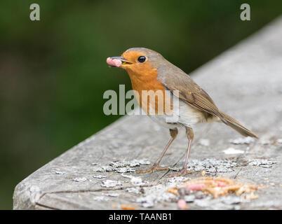 European Robin (Erithacus rubecula) - Stock Photo